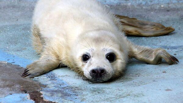 Детеныш серого тюленя - Sputnik Узбекистан