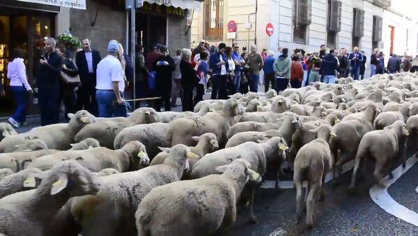 Несколько тысяч овец прошли по улицам Мадрида - Sputnik Ўзбекистон