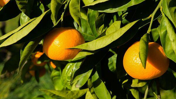 Сбор урожая мандаринов в Гулрыпше - Sputnik Узбекистан