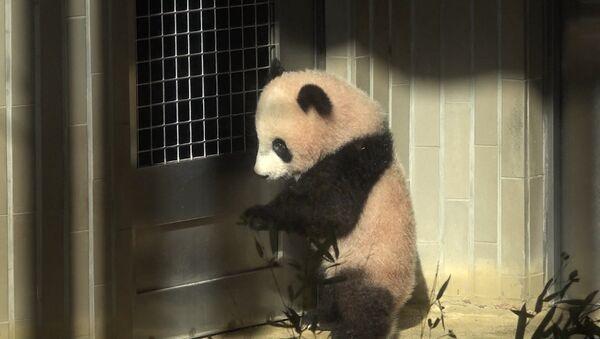 Шестимесячную панду впервые показали публике в токийском зоопарке - Sputnik Узбекистан