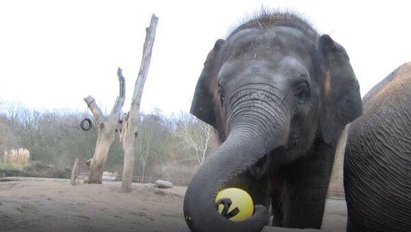 СПУТНИК_Слоненок Эдгар в берлинском зоопарке отпраздновал двухлетие  - Sputnik Узбекистан