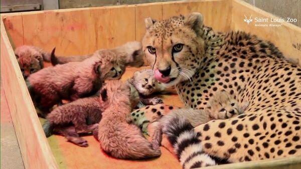 СПУТНИК_Восемь детенышей родились у самки гепарда в зоопарке Сент-Луиса - Sputnik Узбекистан