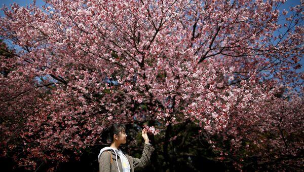 Tsvetuщaya sakura v Tokio, Yaponiya  - Sputnik Oʻzbekiston