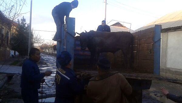 Бык, которого сотрудники МЧС Узбекистана поймали на одной из улиц Андижана - Sputnik Узбекистан