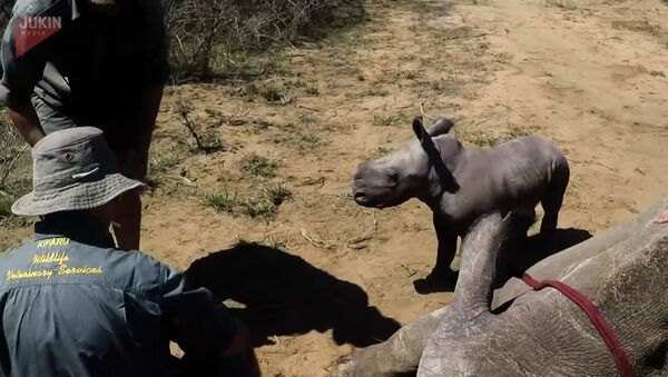 СПУТНИК_Маленький носорог отважно защищает маму - Sputnik Узбекистан