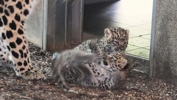 В венском зоопарке родились детеныши амурского леопарда - Sputnik Узбекистан