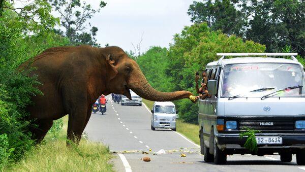Проезжающие на автомобиле угощают слона бананами на дороге в Шри-Ланке - Sputnik Ўзбекистон