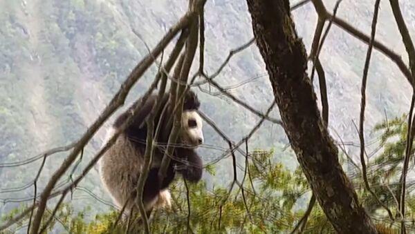 Детеныш дикой панды был впервые обнаружен  в китайском заповеднике Вулонг - Sputnik Узбекистан