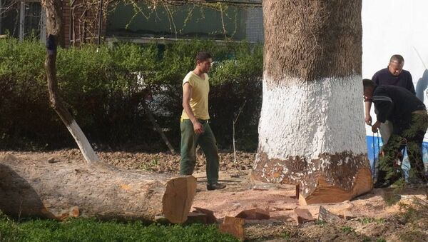 Рубка деревьев в Ташкенте - Sputnik Узбекистан