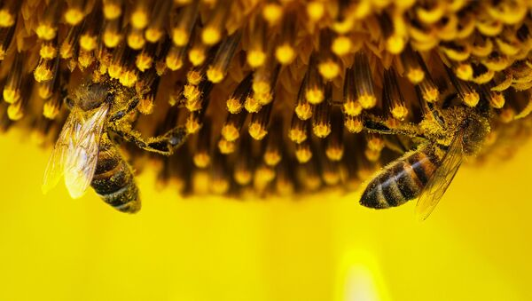 Пчелы на цветке подсолнечника. - Sputnik Узбекистан