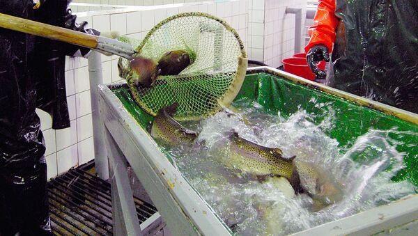 Рыба на форелеводческом заводе - Sputnik Ўзбекистон