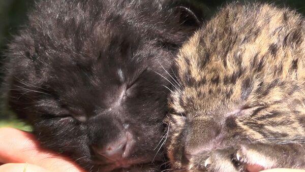 Новорожденные амурские леопарды - Sputnik Узбекистан