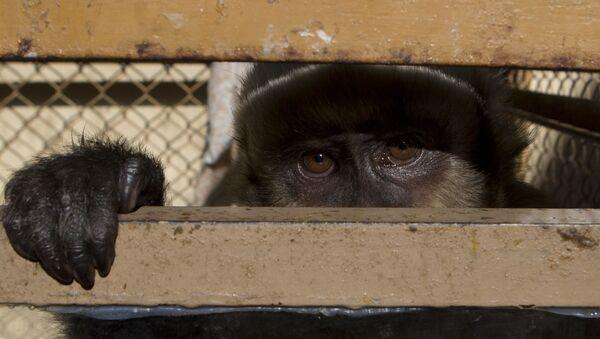 Обезьяна-капуцин смотрит из клетки в полицейском участке после того, как ее извлекли из уличного киоска  - Sputnik Ўзбекистон