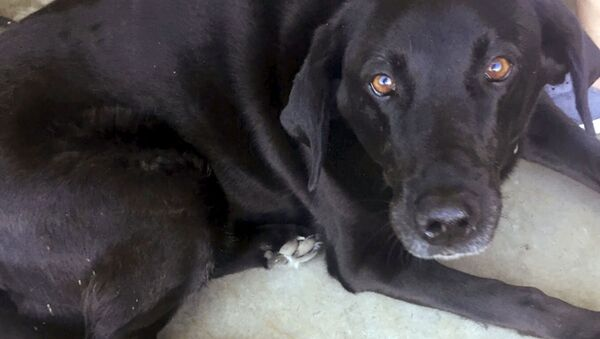 Foto chernogo labradora po imeni Lyusi, obnarujeniye, kotorogo povliyalo na rassledovaniye dela ob iznasilovanii, sdelannoye 18 iyulya 2018 v Djerxart Golf Links v Gearte, Oregon - Sputnik Oʻzbekiston