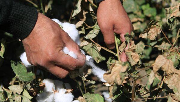 Сбор урожая хлопка в Ставропольском крае - Sputnik Узбекистан